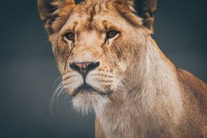 Фото бесплатно дикая природа, лев, кошка