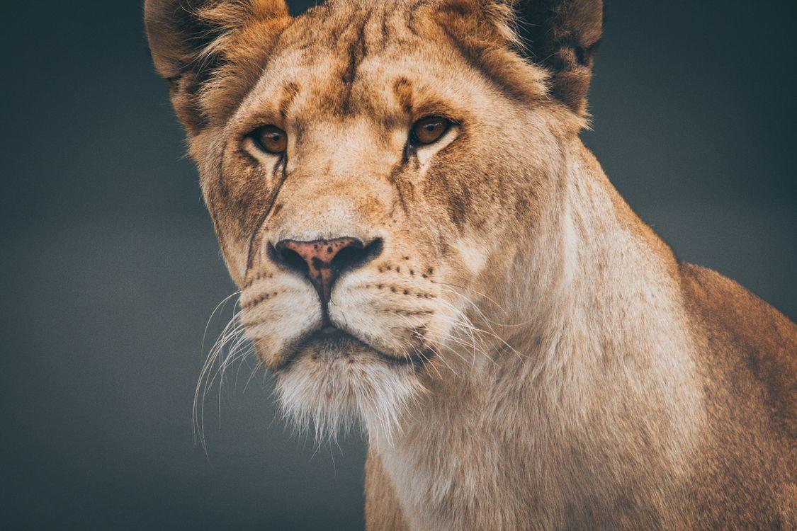 Фото дикая природа лев кошка - бесплатные картинки на Fonwall