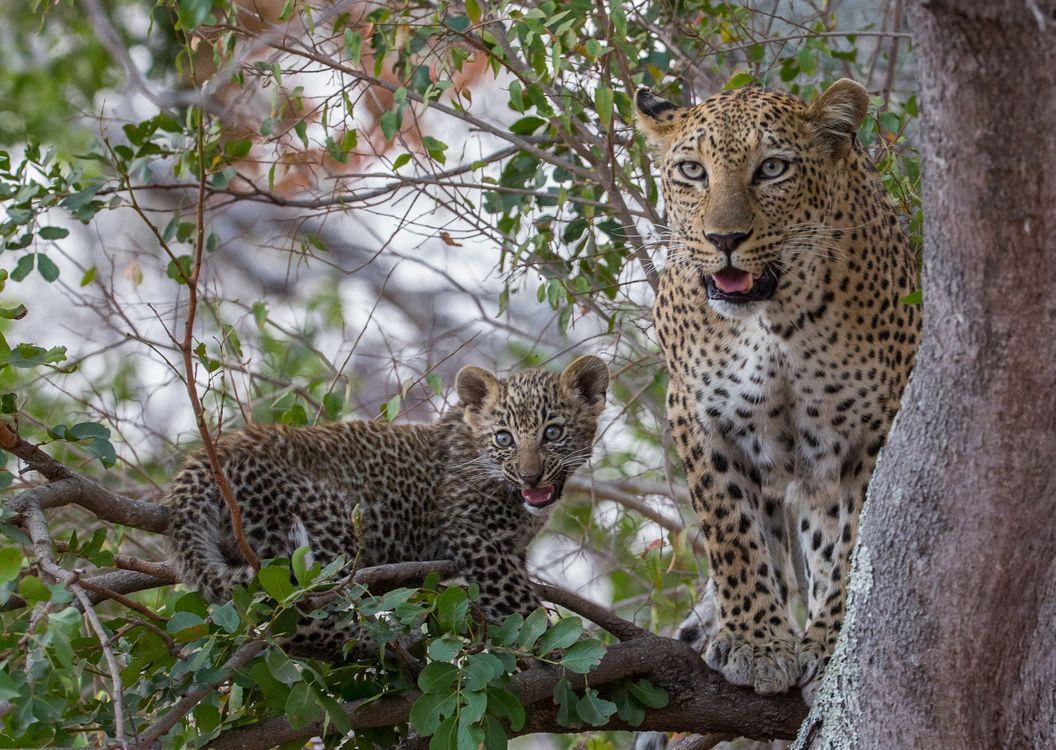 Фото бесплатно Leopard в дерево, животное, леопард - на рабочий стол