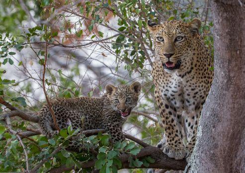 Заставки Leopard в дерево, животное, леопард