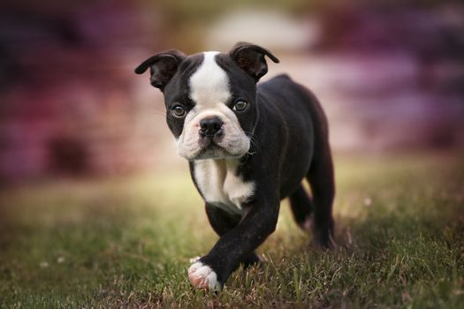 Puppy boston terrier · free photo