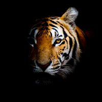 Photo free an animal, a cat family, a tiger