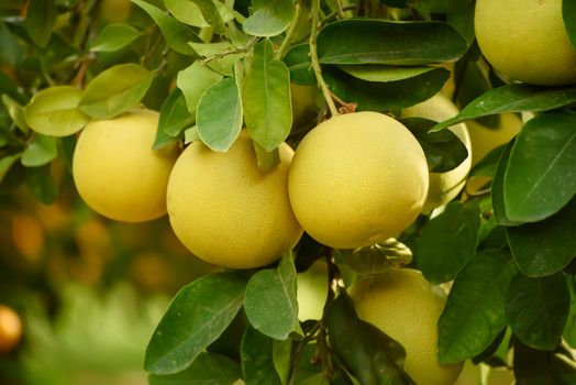 Photo free Ripe fruit pomelo, a citrus orchard, citrus fruits