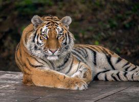 Заставки большая кошка, животное, Panthera tigris altaica подвид тигра
