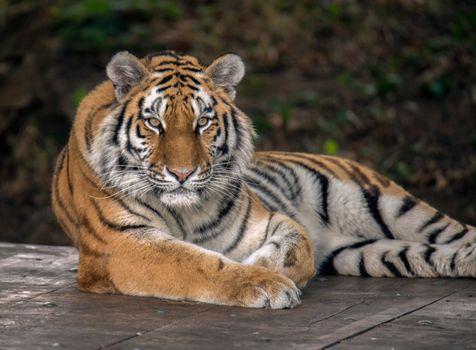 Фото бесплатно большая кошка, животное, Panthera tigris altaica подвид тигра