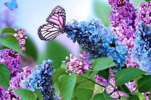 Фото бесплатно букет сирени, сирень, бабочка