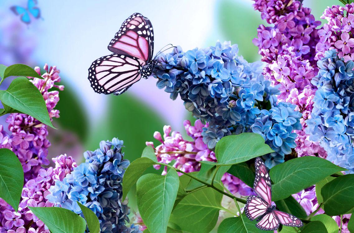 Фото бесплатно букет сирени, сирень, цветы, флора, бабочка, цветы
