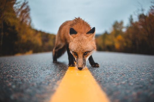 The Fox sniffs the road markings