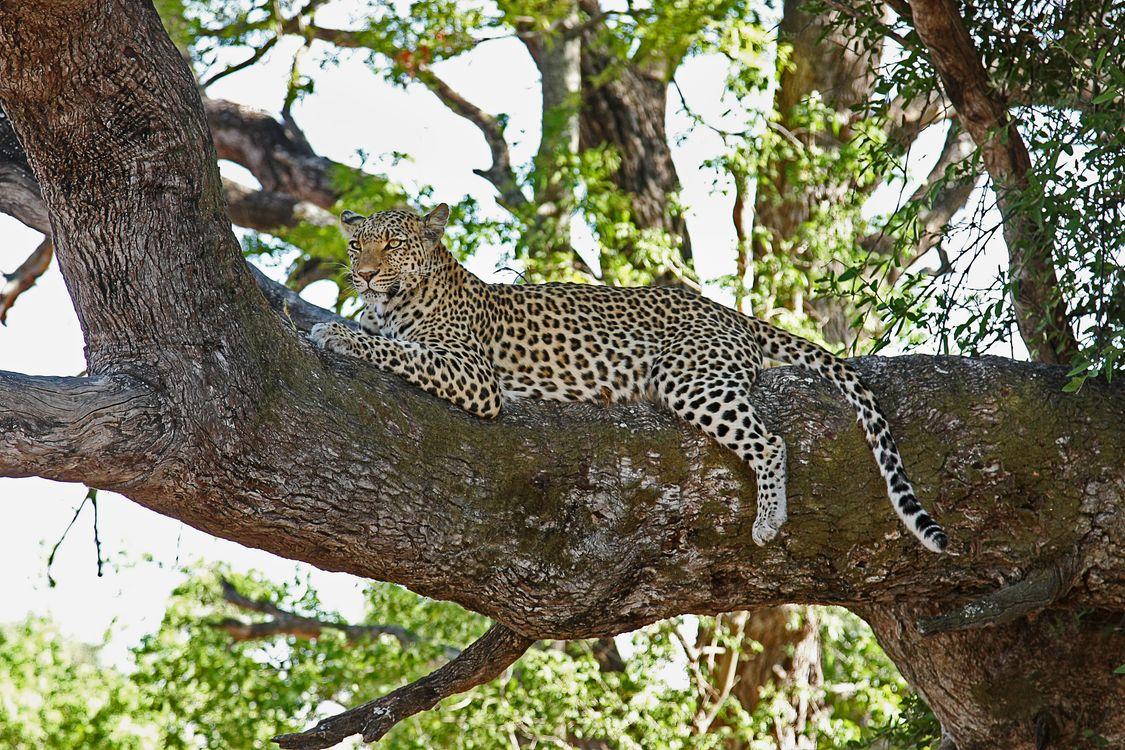 Photos for free leopard, predator, tree - to the desktop