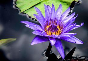 Фото бесплатно макро, пруд, кувшинки
