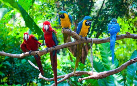 Фото бесплатно ветви, попугаи, разноцветные