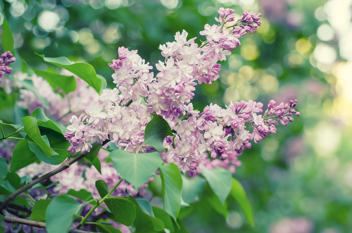 Фото бесплатно флора, сирень, цветущие ветви - на рабочий стол