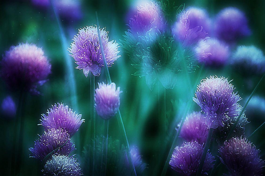 Фото бесплатно макро, цветущий лук, цветок - на рабочий стол