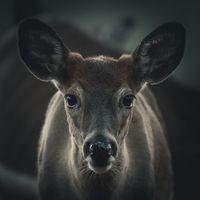 Фото бесплатно лось, олень, животные