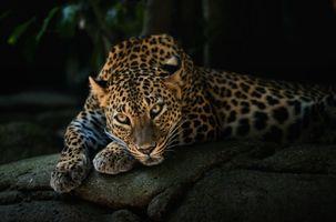 Заставки леопард, дерево, животное