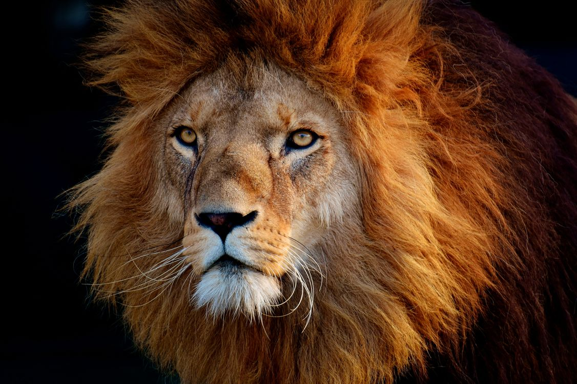 Free photo lion, predator, muzzle, mane, black background, portrait, animal - to desktop