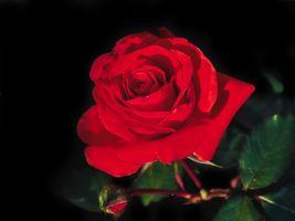 Фото бесплатно макро, флора, красный