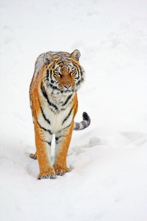 Фото бесплатно tiger, тигр, взгляд, снег, кошки