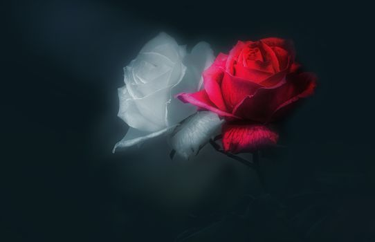 Bud red and white roses · free photo