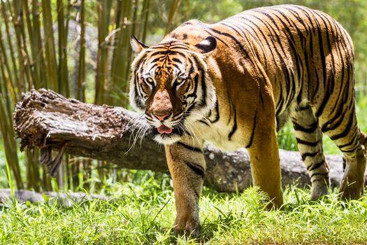 Фото бесплатно тигр, большая дикая кошка, хищник