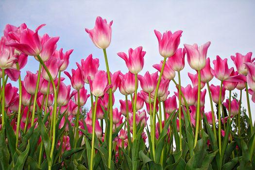 Посмотреть фото тюльпаны, тюльпан