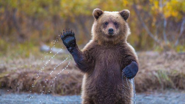 Фото бесплатно медведь, лапа, вода