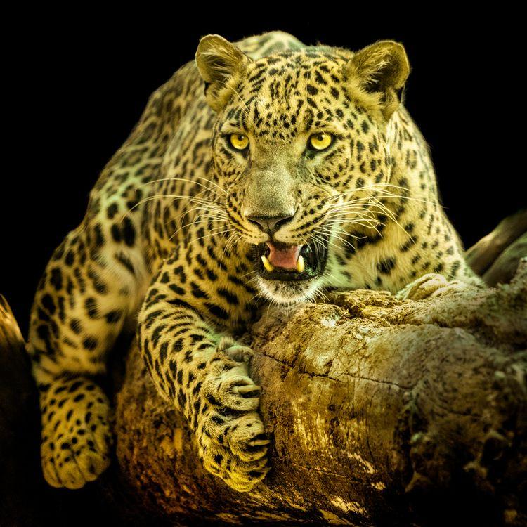 Леопард лежит на ветке · бесплатное фото