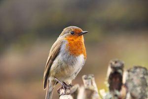 Фото бесплатно птица, размытый фон, робин