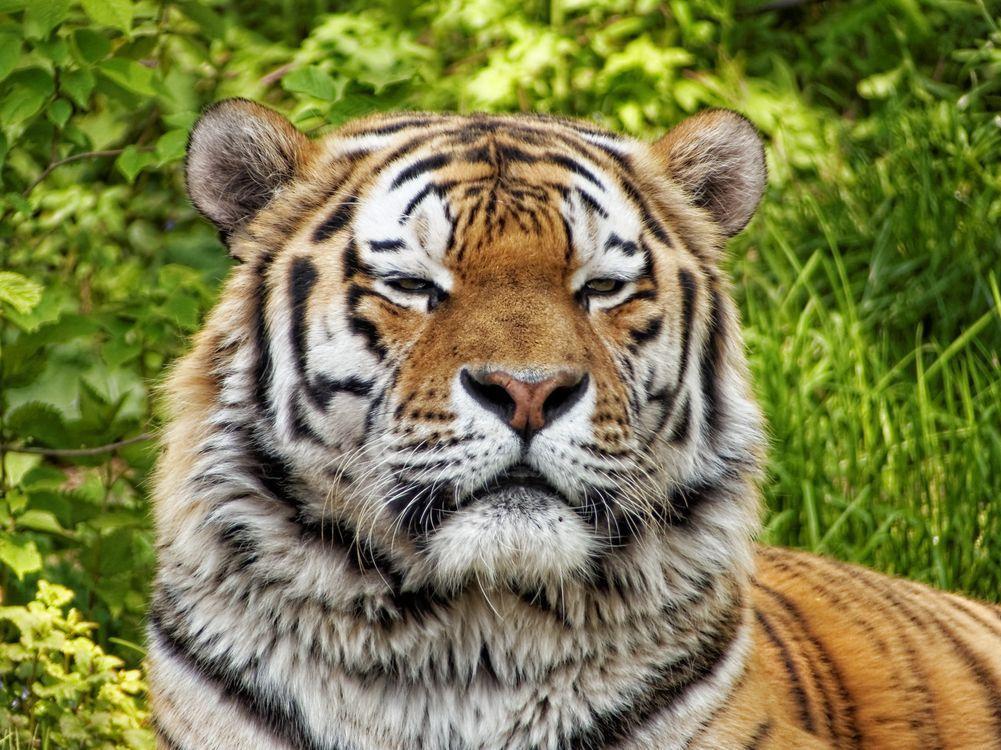 Фото бесплатно тигр, странное выражение, хищник - на рабочий стол