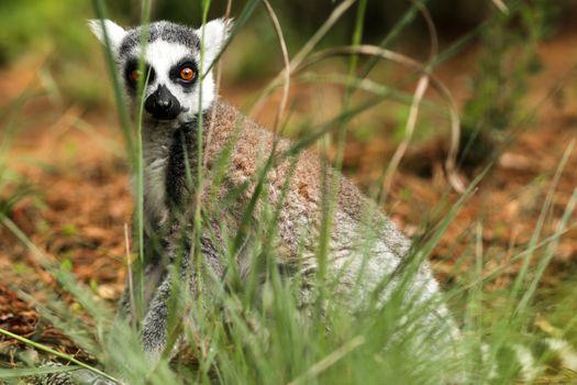 Фото бесплатно лемур, трава, стоя