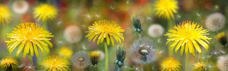Фото бесплатно цветочная композиция, одуванчик, макро