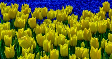 Variety of yellow tulips