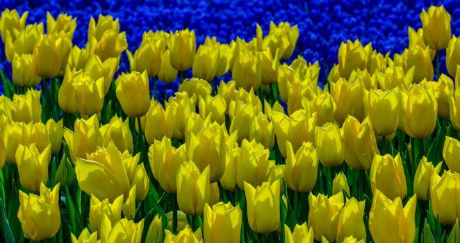 Сорт желтых тюльпанов · бесплатное фото