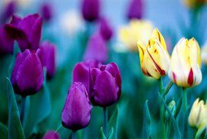 Фото бесплатно тюльпаны, темно-розовые, желтые