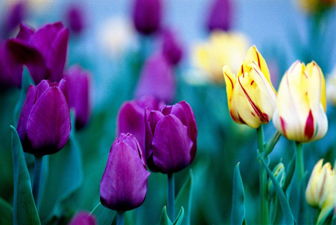Фото бесплатно тюльпаны, темно-розовые, желтые, лепестки, цветы, цветы