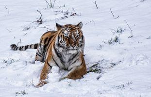 Заставки зима, тигр, животные