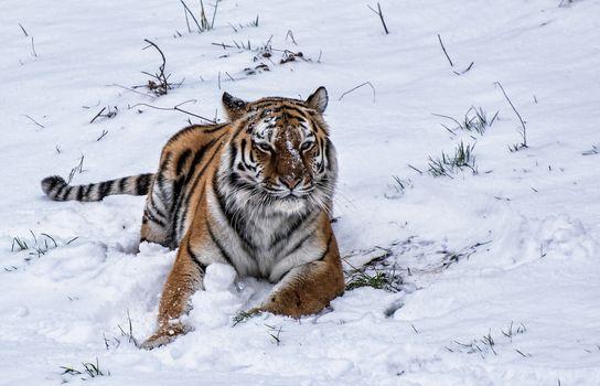 Заставки зима,тигр,хищник,животное,большая кошка,взгляд