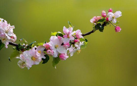 Заставки розовый цветок, ветка, цветение