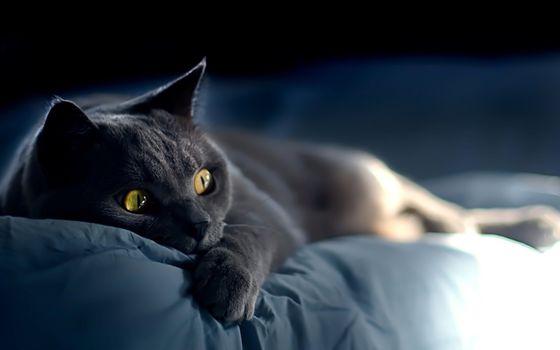 Бесплатные фото Russian,Blue,Cat,русская,голубая,кошка