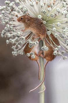 Photo free mouse-baby, trinity, Harvest Mouse