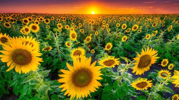 Photo free sunflowers, sunset, field