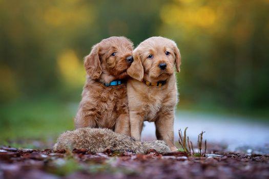 Два милых лабрадорчика · бесплатное фото