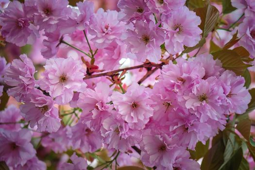 Photo free the almond tree, flowering branch, flowers