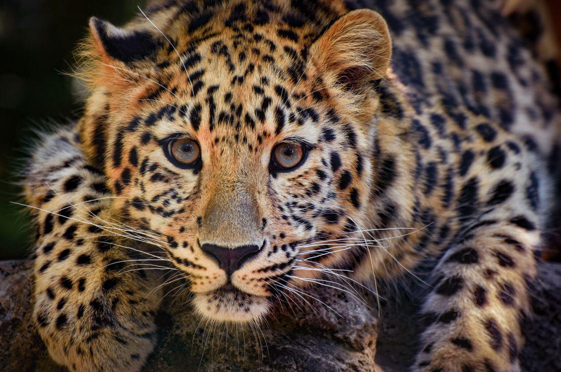 Пристальный взгляд леопарда · бесплатное фото