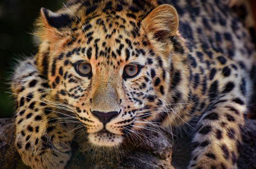 Пристальный взгляд леопарда