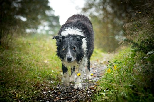 Photo free border collie, dog, photograph