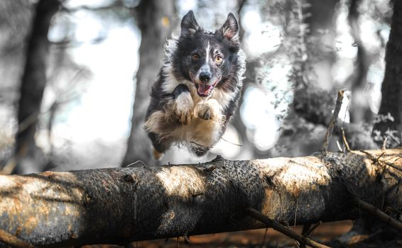 Photo free pet, pose, border collie