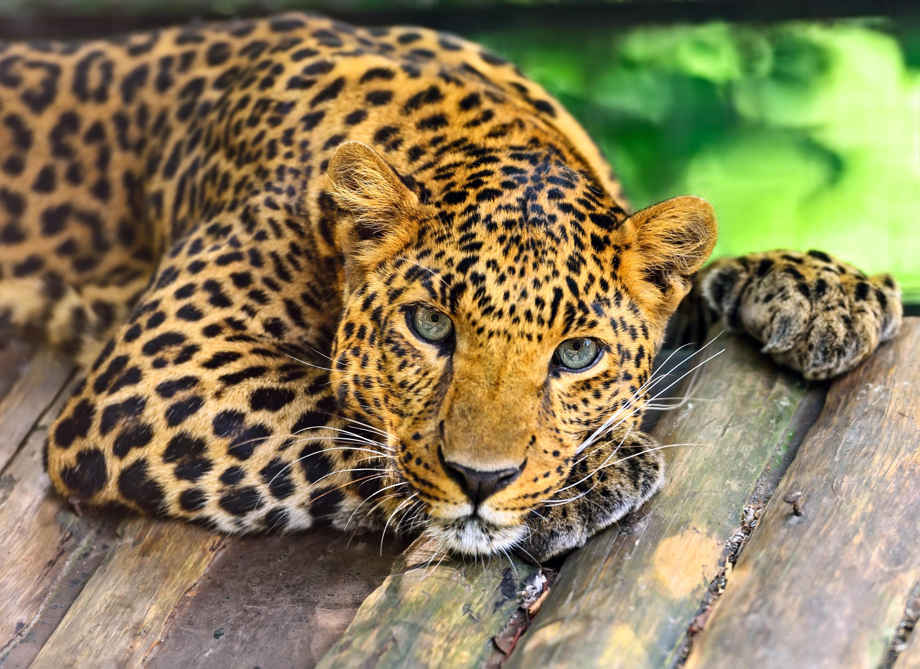 лучшее фото леопарда кто-то догадался