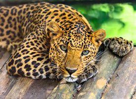 Угрюмый леопард · бесплатное фото