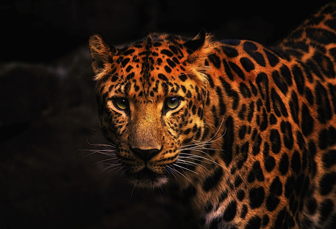 Обои леопард, хищник, большая кошка картинки на телефон